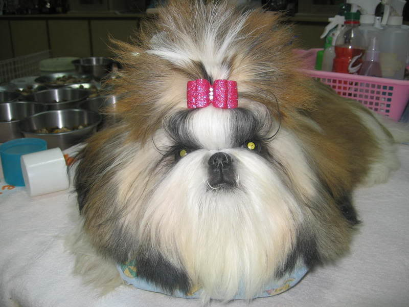Shih Tzu Top Knots 1001doggycom