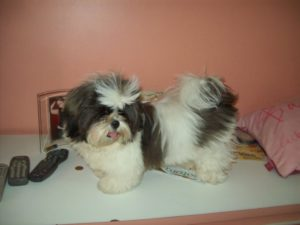 shih tzu vomiting my shih tzu is vomiting yellow bile 1001doggy com 2511
