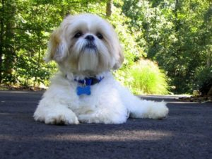 Shih Tzu weight calculator