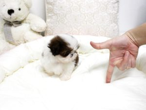 Teacup Shih Tzu adults