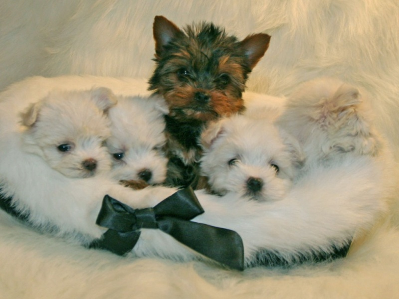 Tiny teacup Shih Tzu puppies