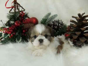 What is an imperial Shih Tzu