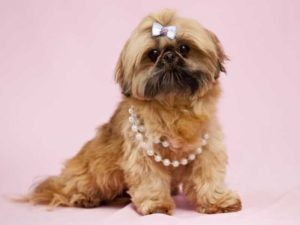 What is the average weight of a Shih Tzu