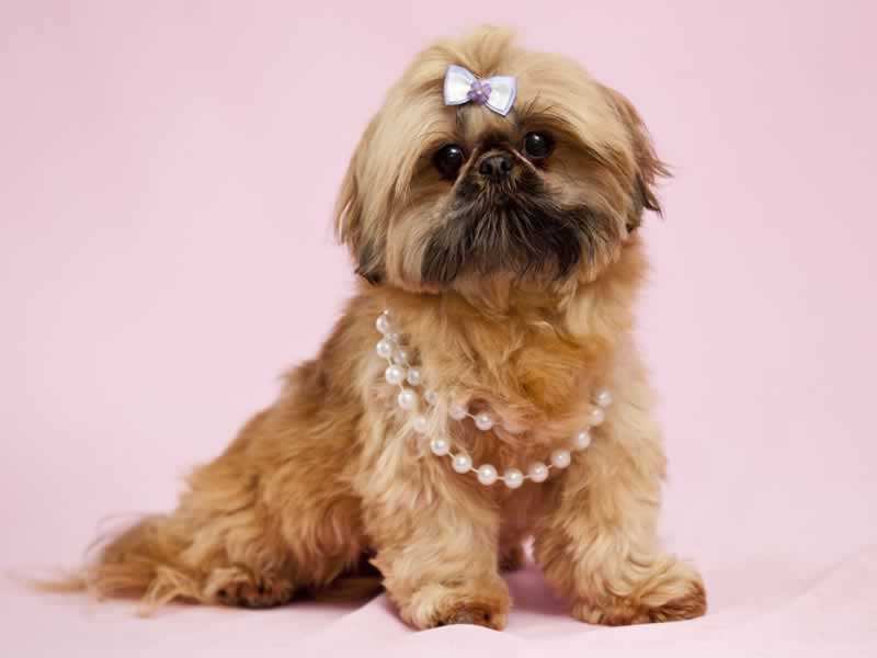 How Much Should A Shih Tzu Weight Healthy Weight For Shih Tzu