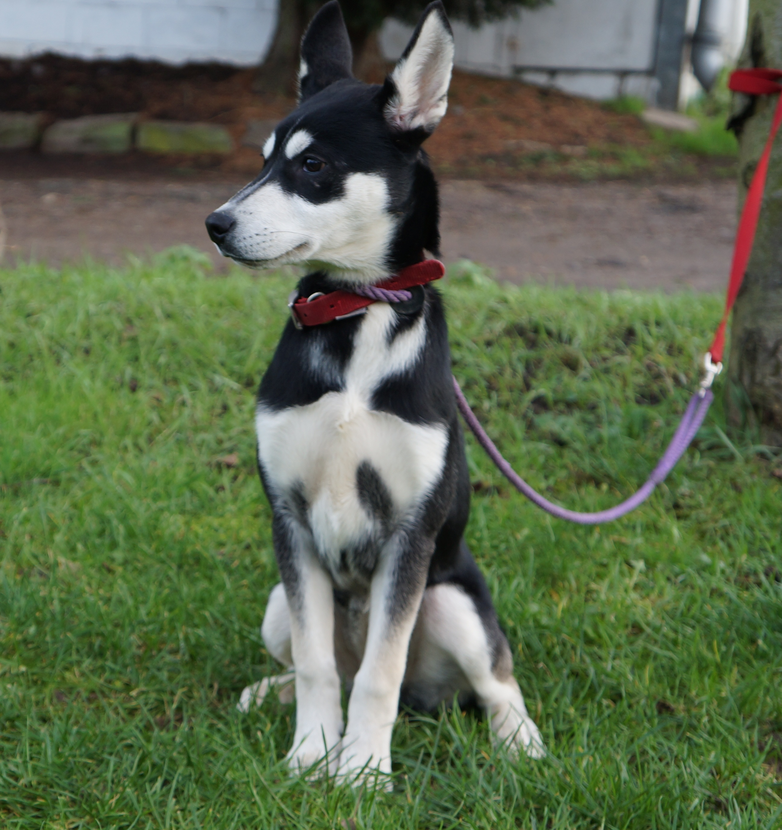 Image Result For Potty Training A Siberian Husky Puppy