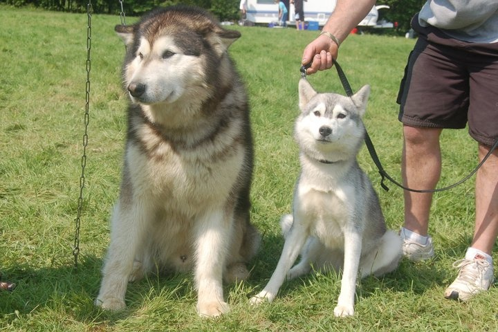 Difference Between Alaskan And Siberian Huskies 1001doggy Com