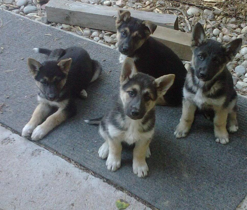 German Shepherd Husky Mix Puppies 1001doggy Com
