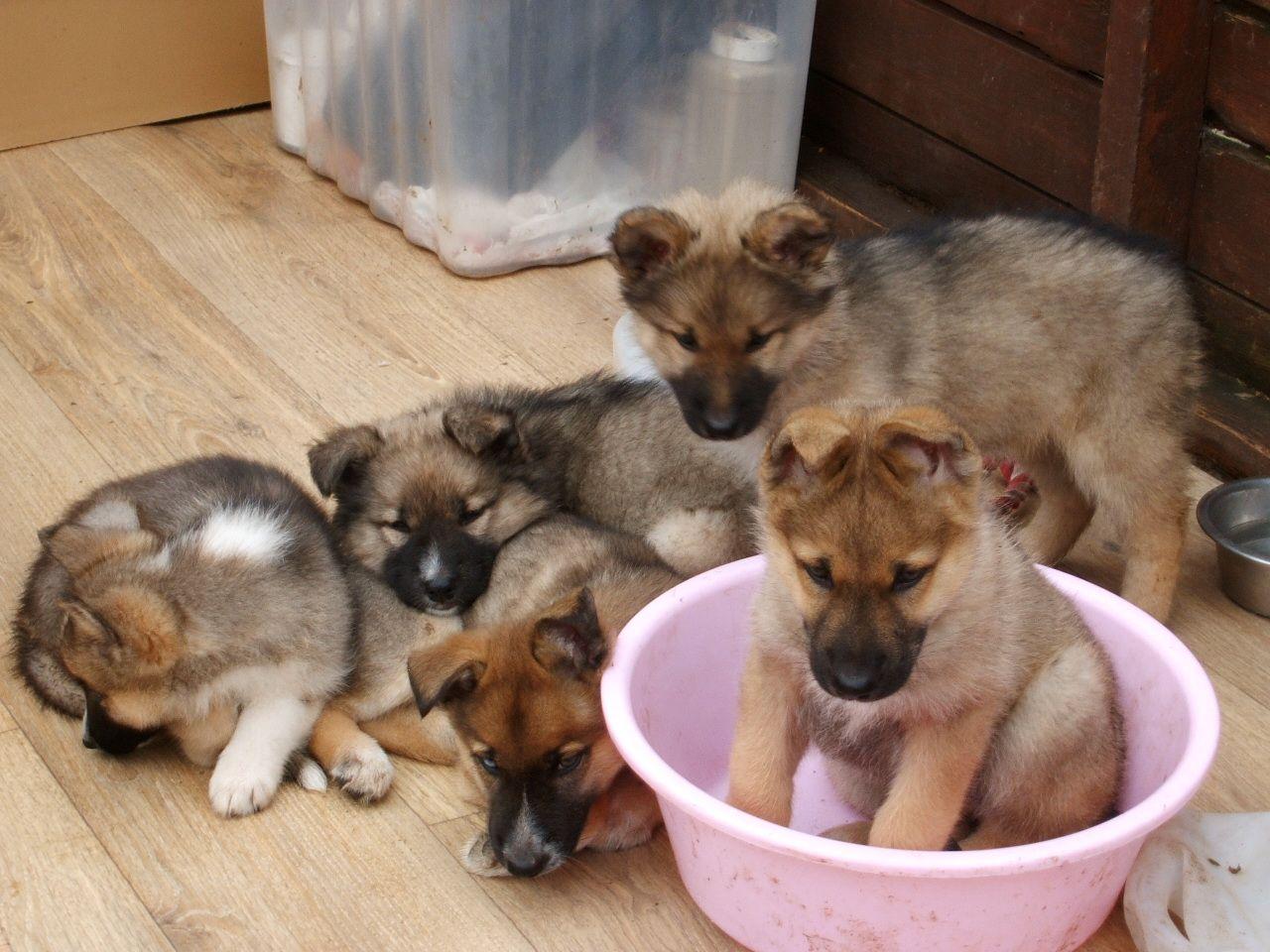 german shepherd mix puppies for sale lancaster puppies - HD1280×960