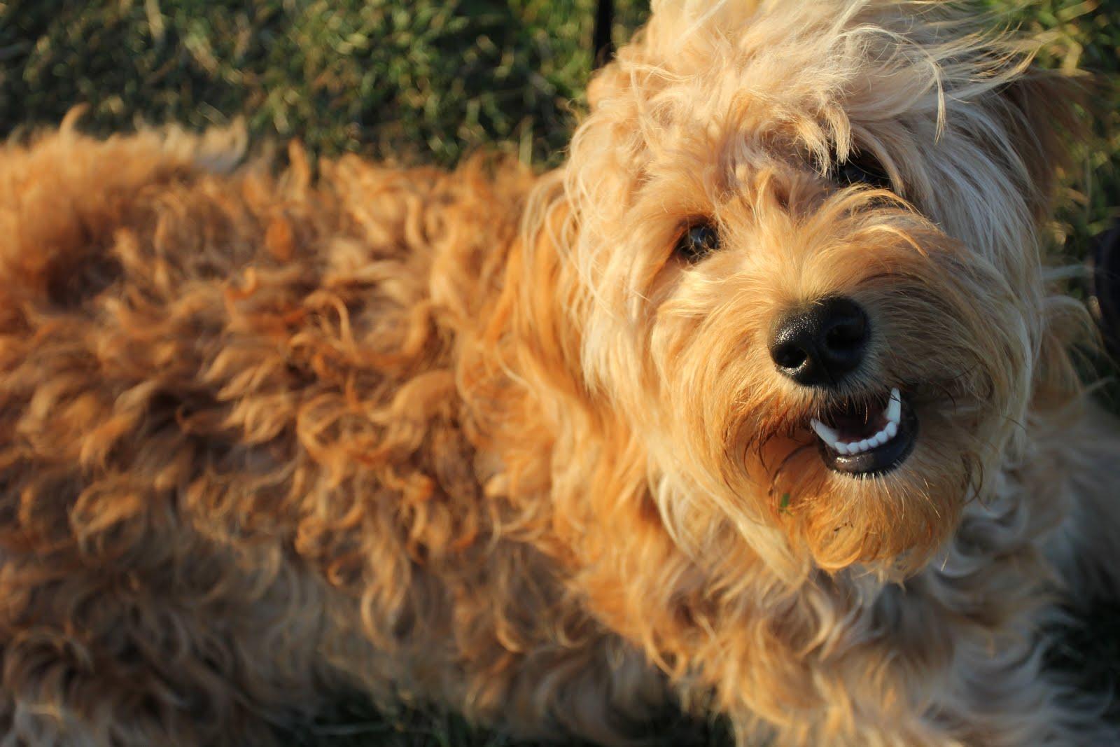 husky mix with poodle 1001doggycom