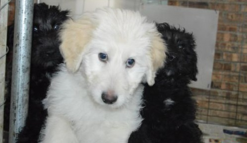 husky poodle mix puppies for sale 1001doggycom