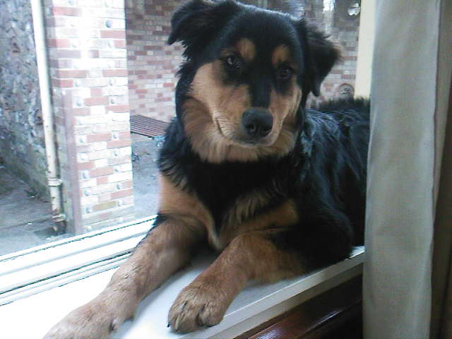 rottweiler mixed with husky
