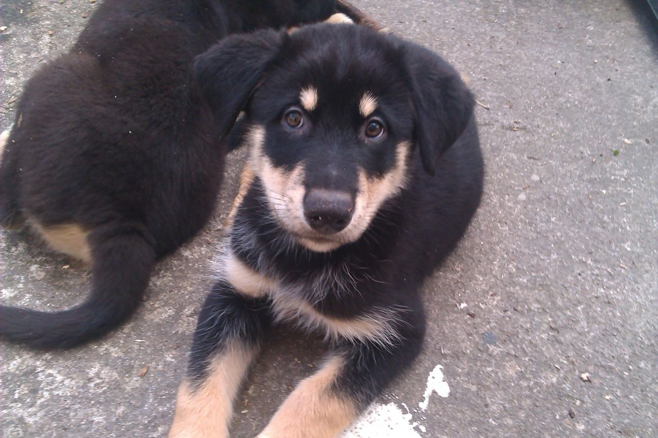 Husky Rottweiler Puppies For Sale 1001doggycom