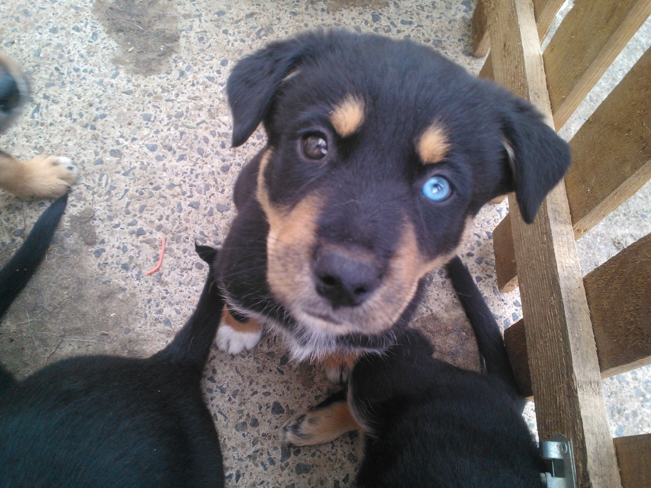 Husky Rottweiler Mix Puppies For Sale 1001doggycom