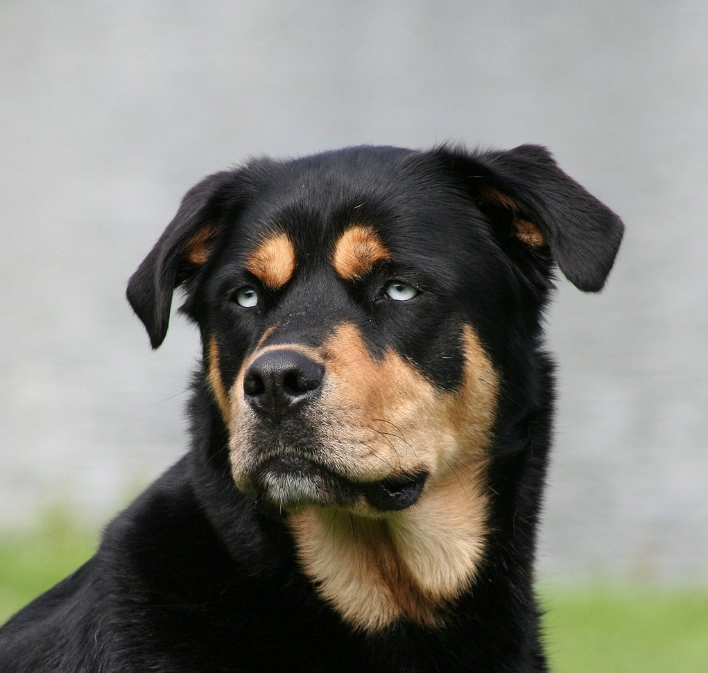 Siberian Husky Mixed With Rottweiler