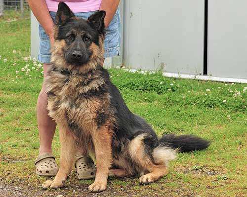10 Month Old German Shepherd - Behavior and Tips for Caring