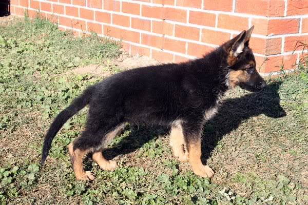 Your German Shepherd Puppy: Month by Month