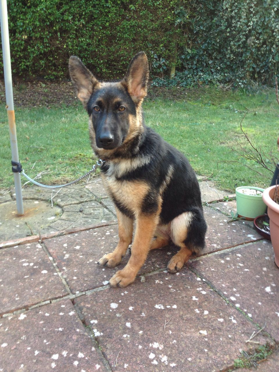 5 month old german shepherd puppy pictures 1001doggy 5 month old german shepherd puppy pictures image and description nvjuhfo Choice Image