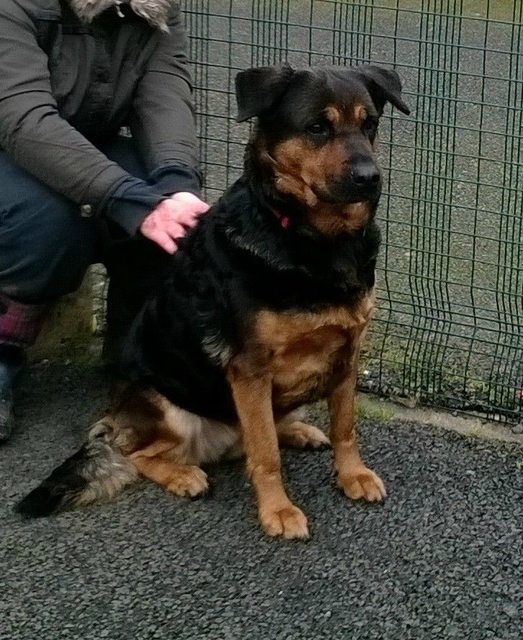 chubby puppie rottweilers mixed in shepard