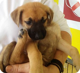 Boxer German Shepherd Mix Puppies For Sale 1001doggy Com