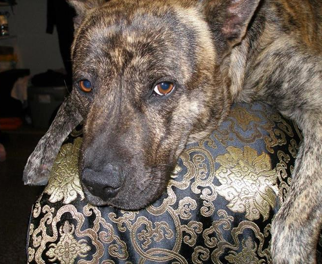 german shepherd brindle pitbull and german shepherd mix average size and weight 3497