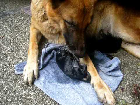 Caring For A Pregnant German Shepherd 1001doggy Com