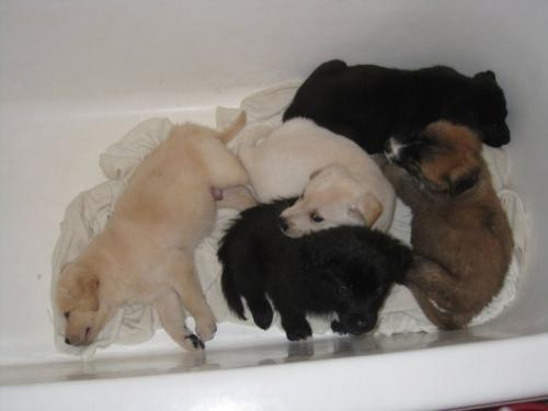 lab german shepherd mix puppies for sale german shepherd labrador mix food diet and exercises 8792