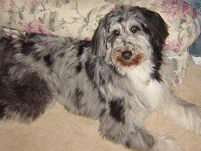 German Shepherd Poodle Mix Rescue | 1001doggy com