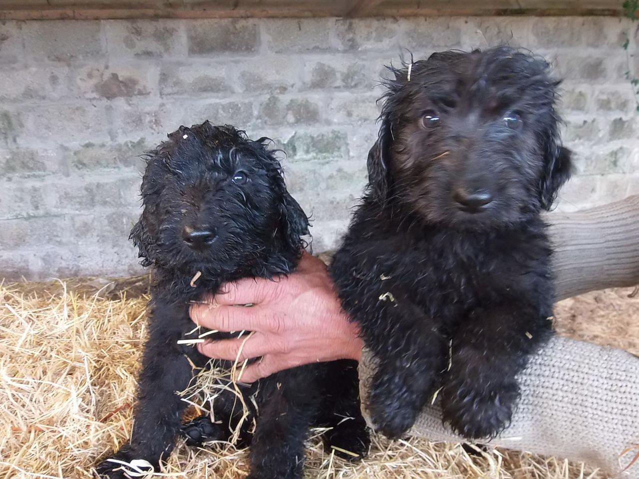 German Shepherd Poodle Mix Puppies - Goldenacresdogs.com