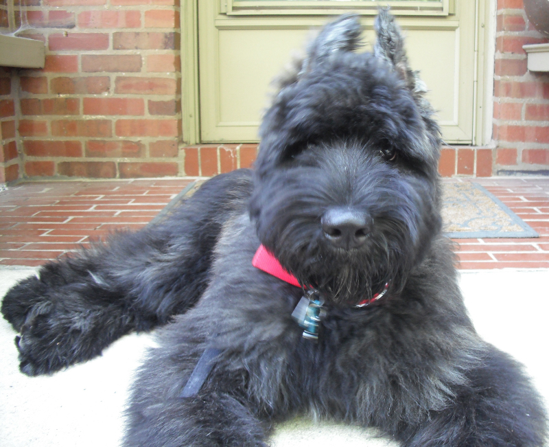 German Shepherd Poodle Mix Puppies For Sale | 1001doggy com