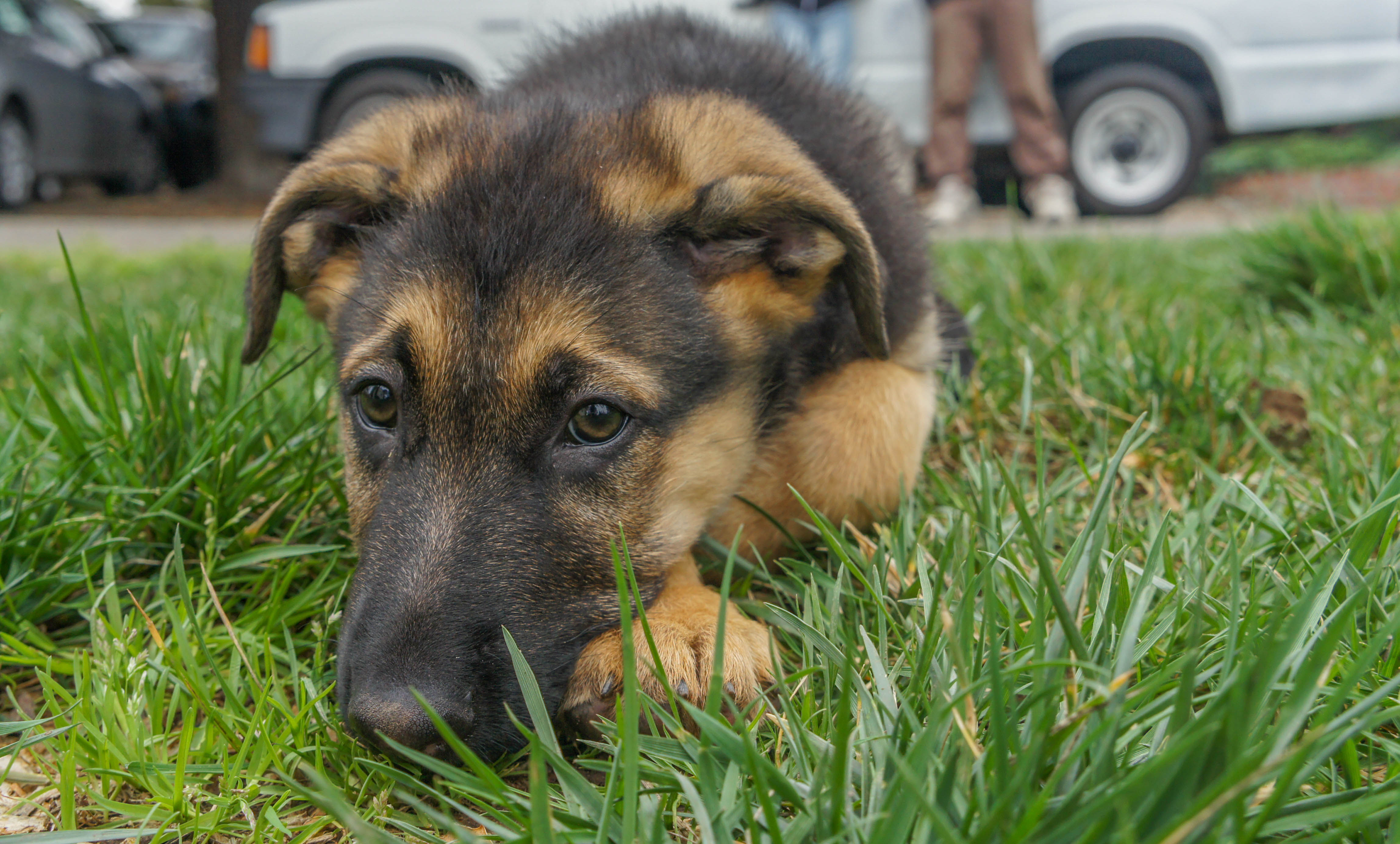 german shepherd puppy biting take charge like this - HD 4591×2769