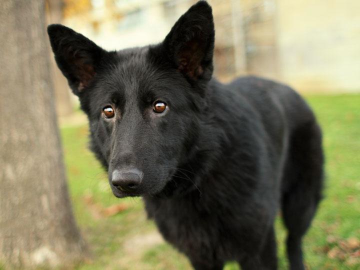 11 Dangerously Fluffy German Shepherd Mixes