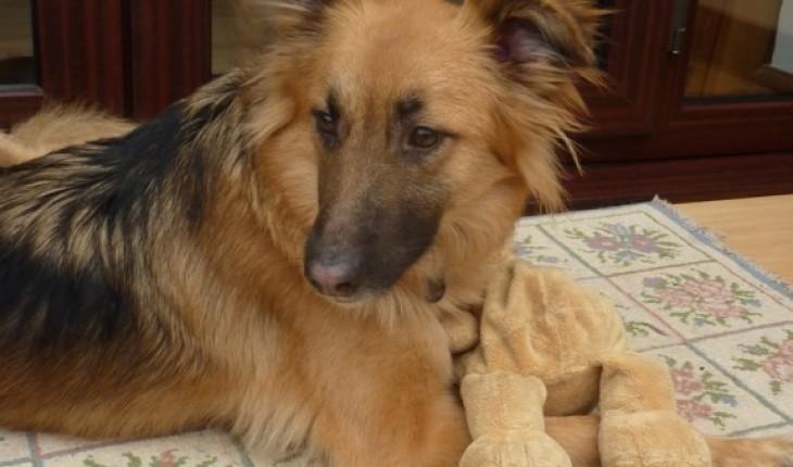 1 year old German Shepherd female