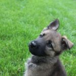 10 week German Shepherd puppy