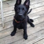 10 week old black German Shepherd puppy