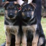 10 week old German Shepherd puppies