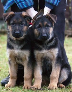 10 week old German Shepherd puppies