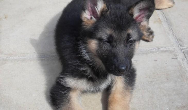 10 week old German Shepherd size