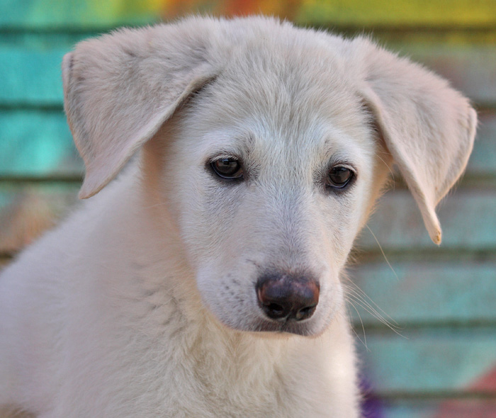 10 week old white German Shepherd