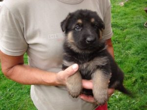 6 week old German Shepherd
