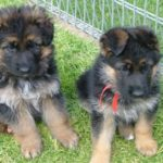 6 week old German Shepherd puppies