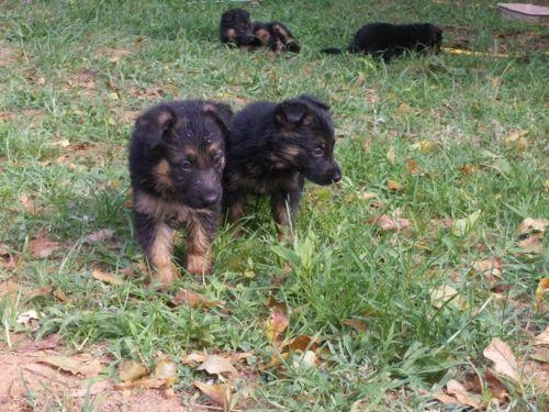 6 week old German Shepherd puppies for sale