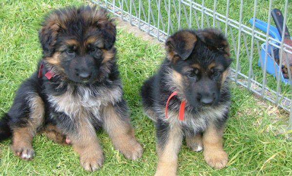 6 week old German Shepherd puppies