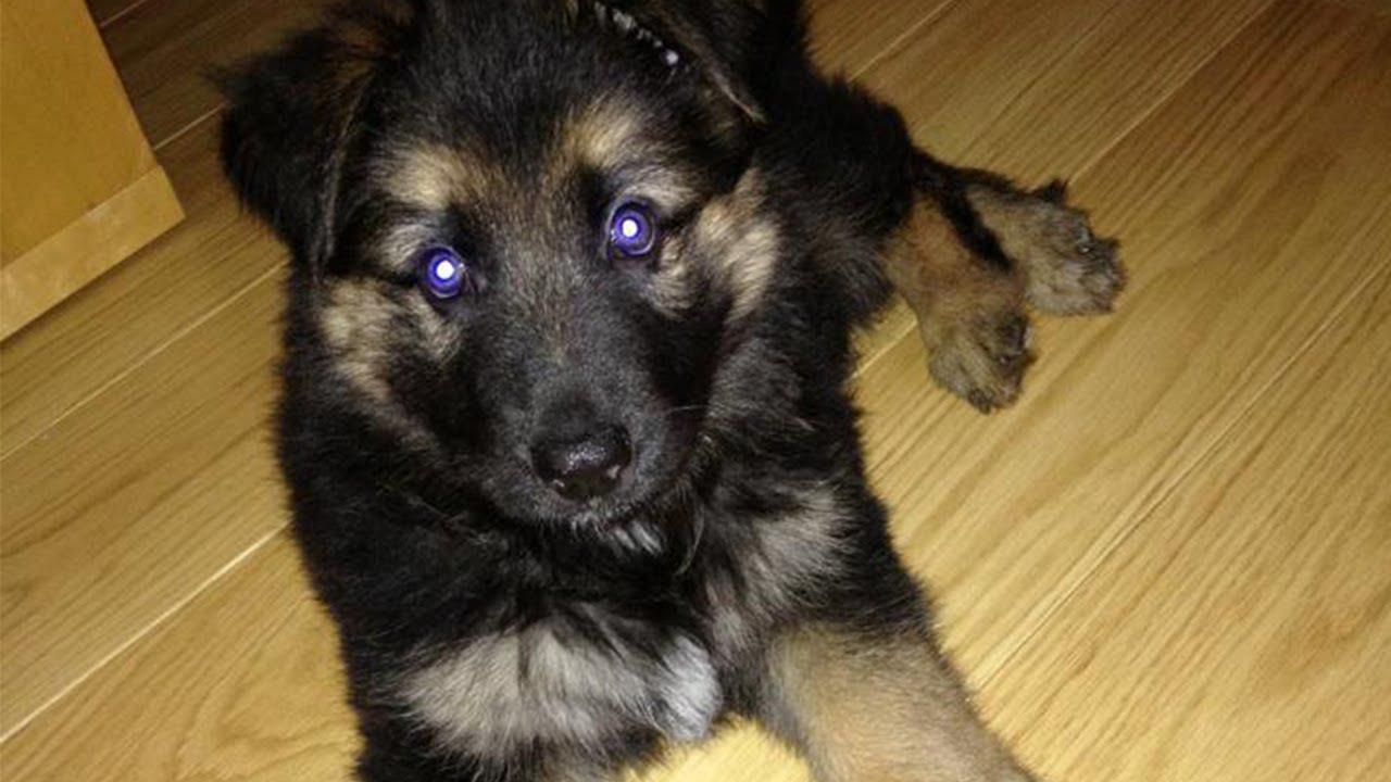 6 week old German Shepherd puppy weight