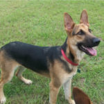 7 month old German Shepherd female