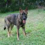 7 month old German Shepherd pictures