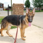 7 month old German Shepherd puppy