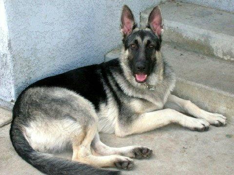 7 month old German Shepherd