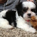 8 week old maltese Shih Tzu