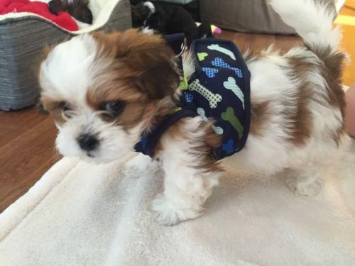 8 week old Shih Tzu puppy training