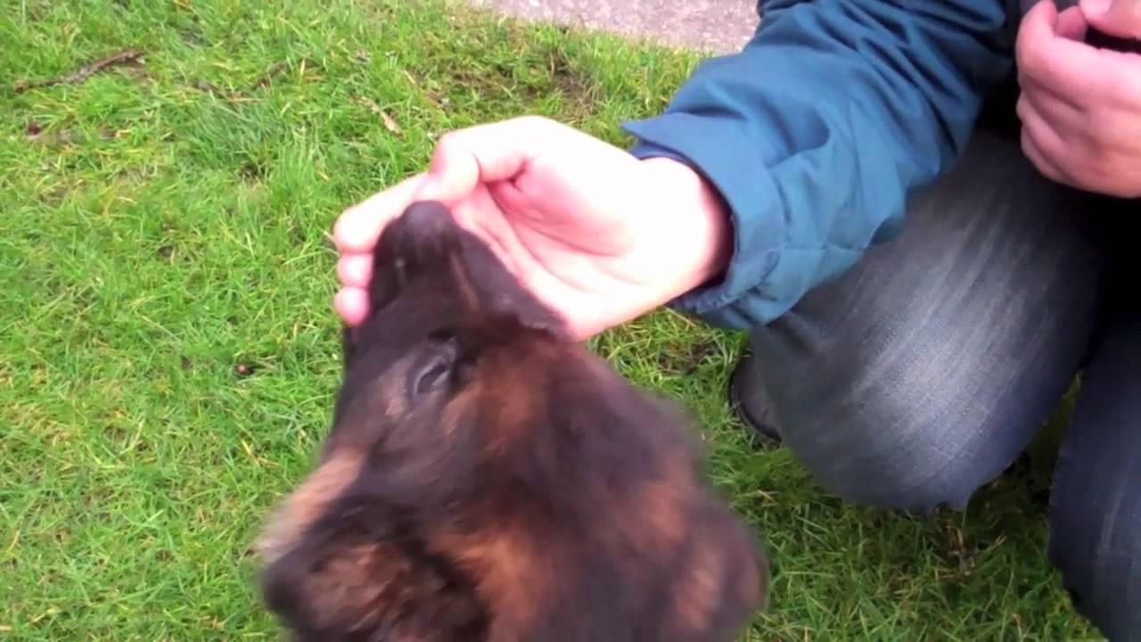 9 week old German Shepherd puppy biting